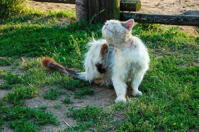 FIP bei Katzen – was ist das?