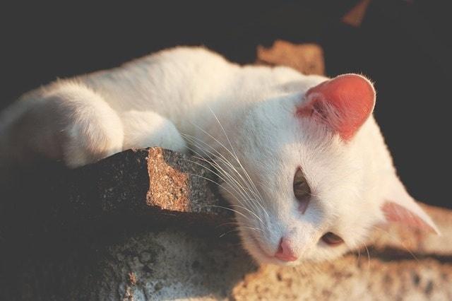 Ohren säubern bei Katzen